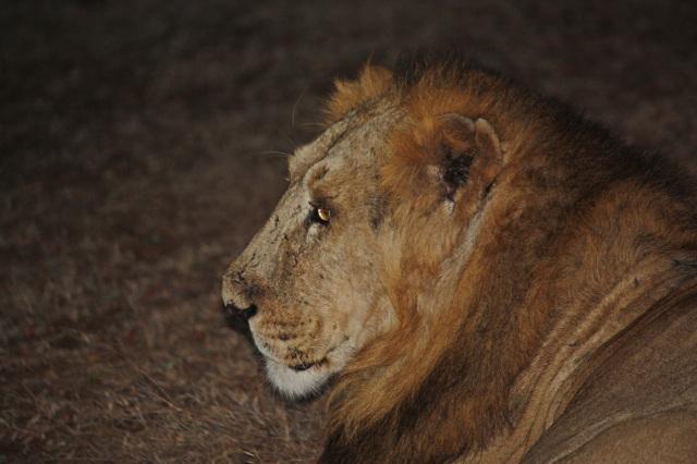 Pensive Lion